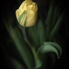 Hope Springs Eternal - Yellow Tulip by Amy Mitchell