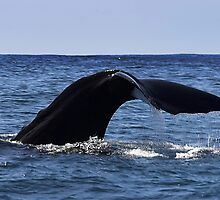 Sperm Whale Fluke by tonilouise