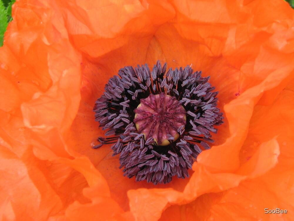Orange Poppy by SooBee
