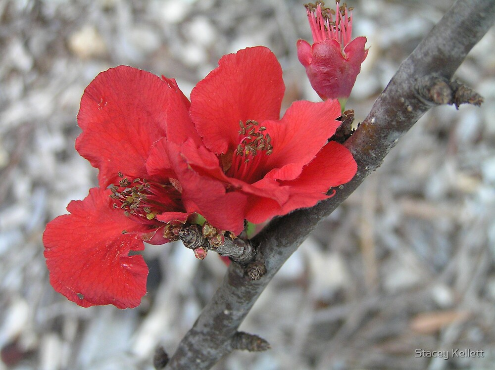 Red Japonica by Stacey Kellett