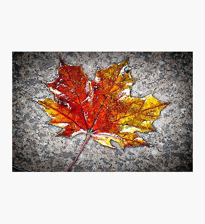 the maple leaf Photographic Print