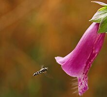 Hover Fly with Foxglove by jaks