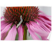 Caterpillar on Echinacea Poster