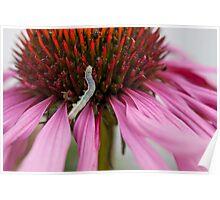 Caterpillar on Echinacea Poster
