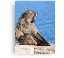 yawning baboon Canvas Print