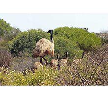 Emus In The Bush Photographic Print