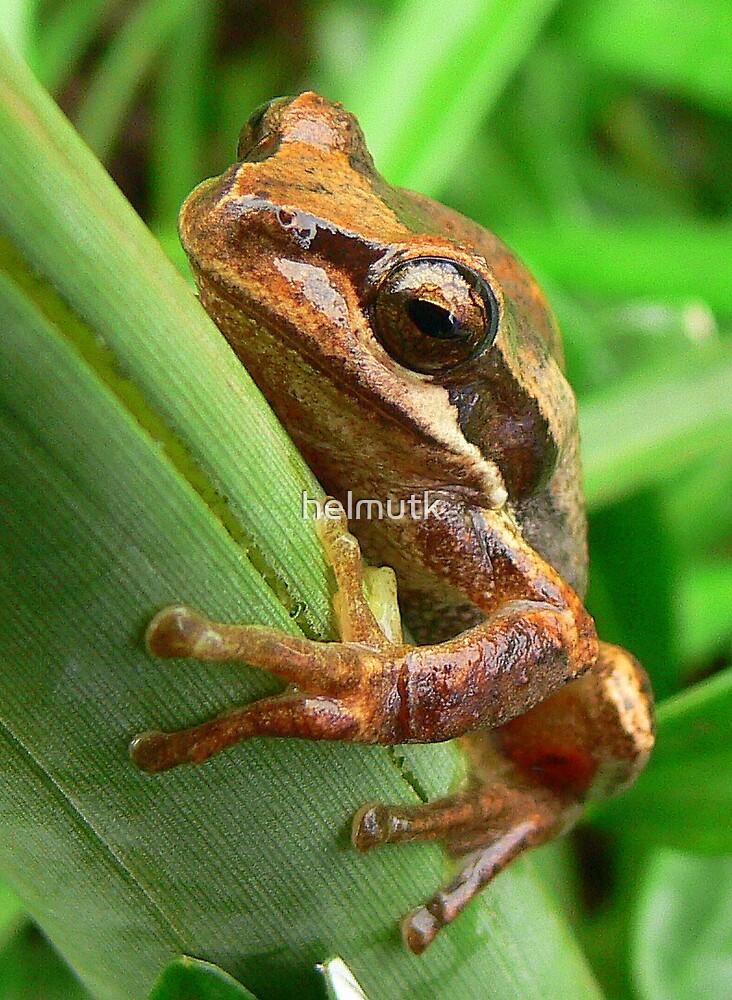 Yeerung River Frog by helmutk