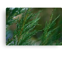 Juniperus Under the Rain Canvas Print