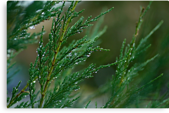 Juniperus Under the Rain by Yannik Hay
