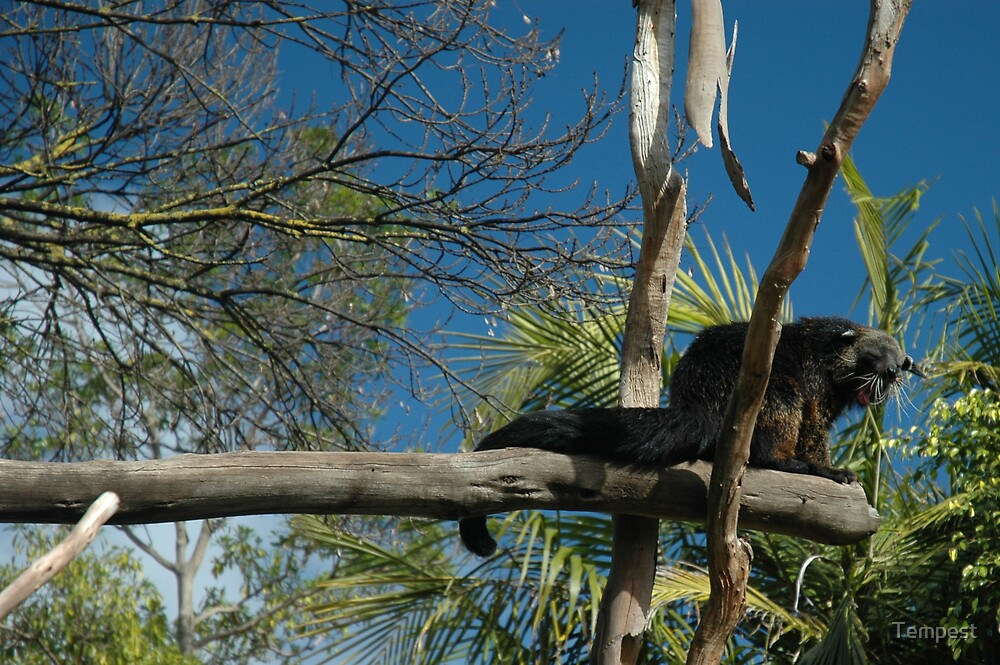Adelaide Zoo - Binturong by Tempest