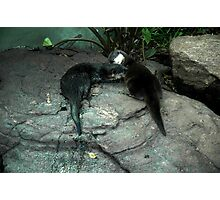 Adelaide Zoo - Otters Photographic Print