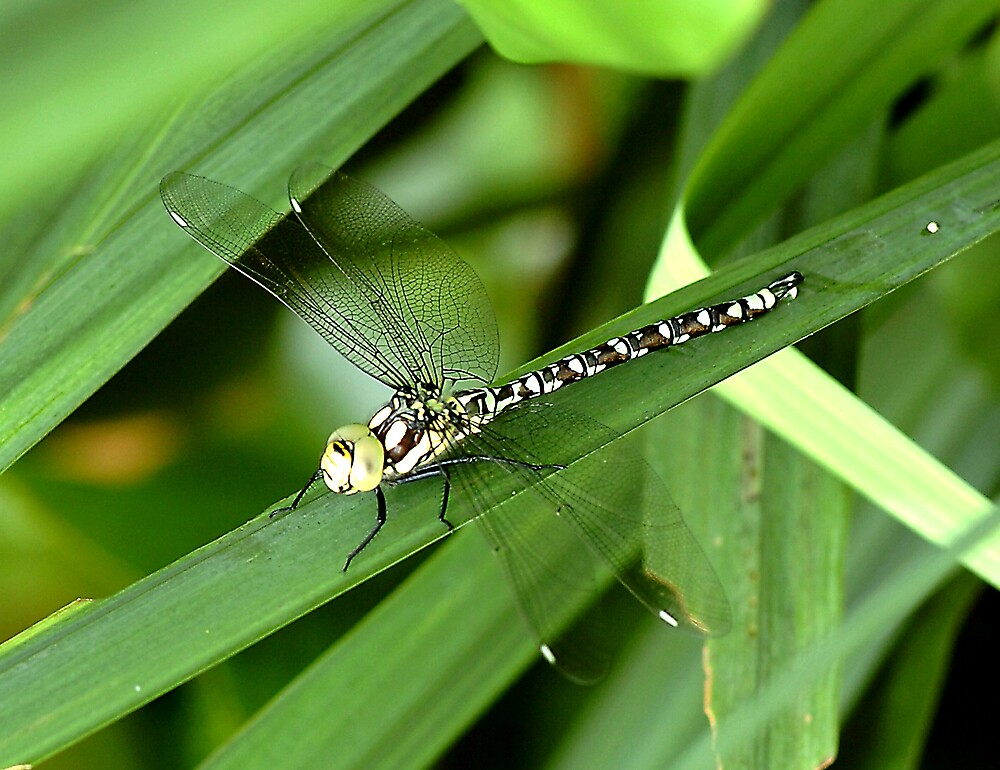 Dragonfly by marko6