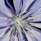 Chicory Flower by Stephen Maxwell