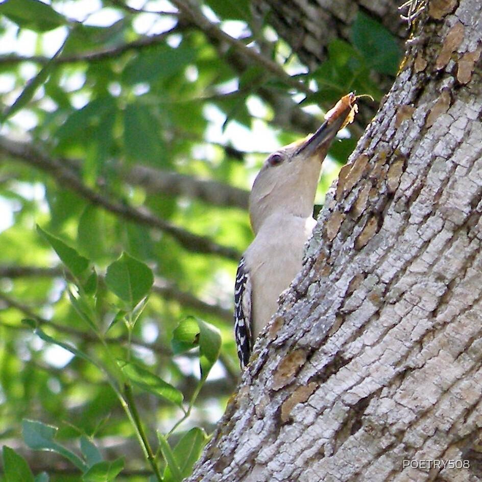 American Woodpecker Looking Skyward by POETRY508