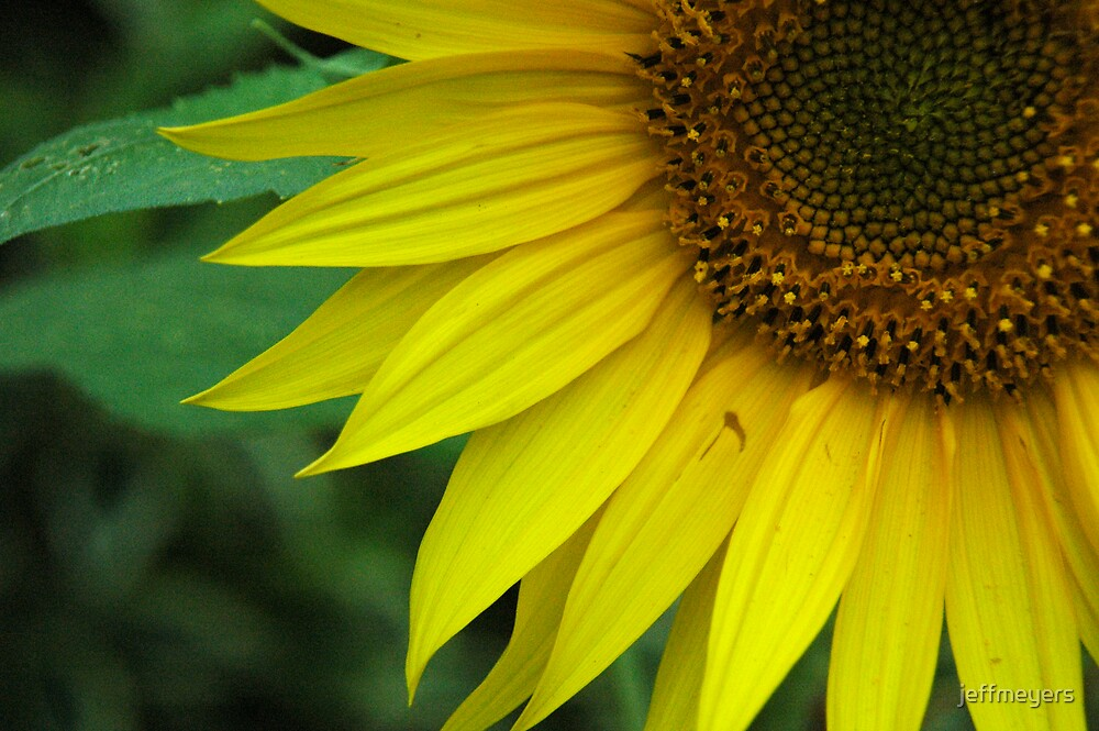 Sunflower 2 by jeffmeyers