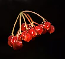 Guelder Rose by JEZ22