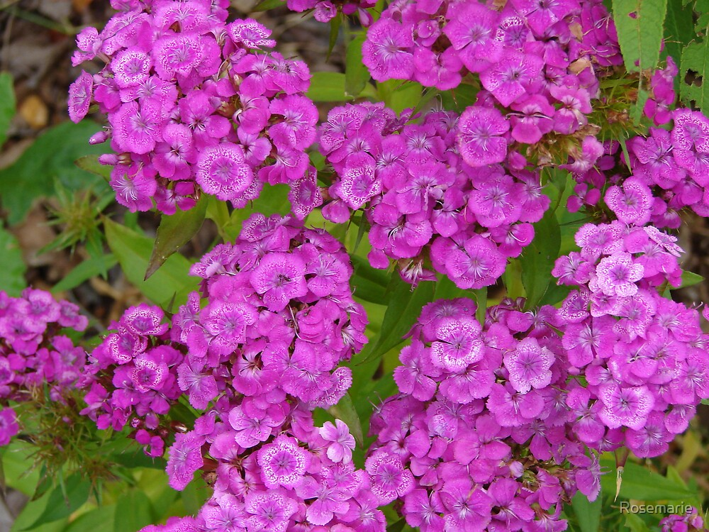 Sweet William in our yard. by Rosemarie