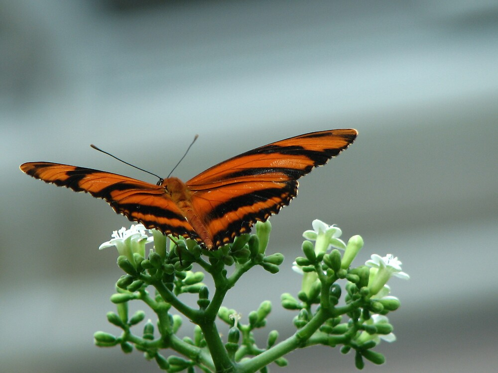 Tiger Butterfly by IndyLady