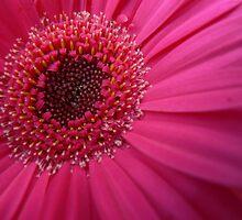Pink Gerbera by Tara Chiu