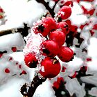 Bright Red Berries by Vicki Spindler (VHS Photography)