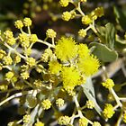 Mt Morgan Wattle by Linda Hitch