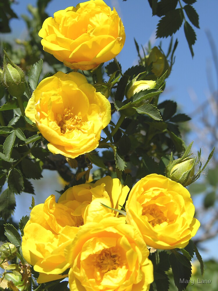 Yellow Rose of Texas by Mary  Lane
