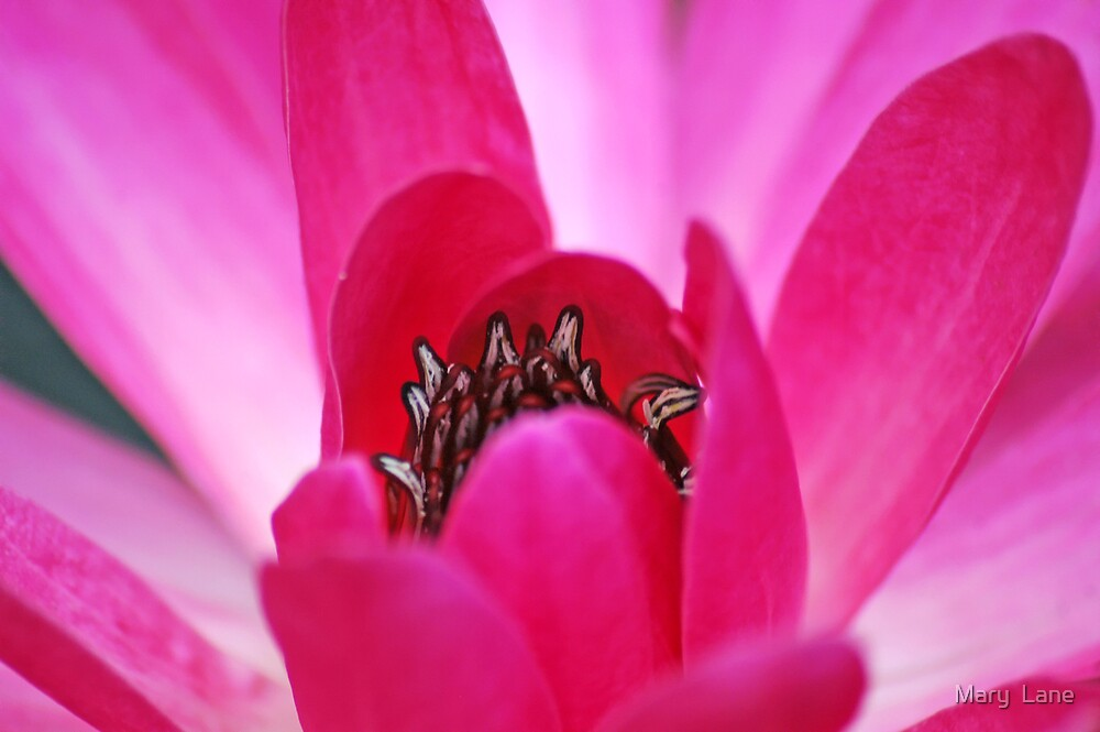 Pink Waterlily by Mary  Lane