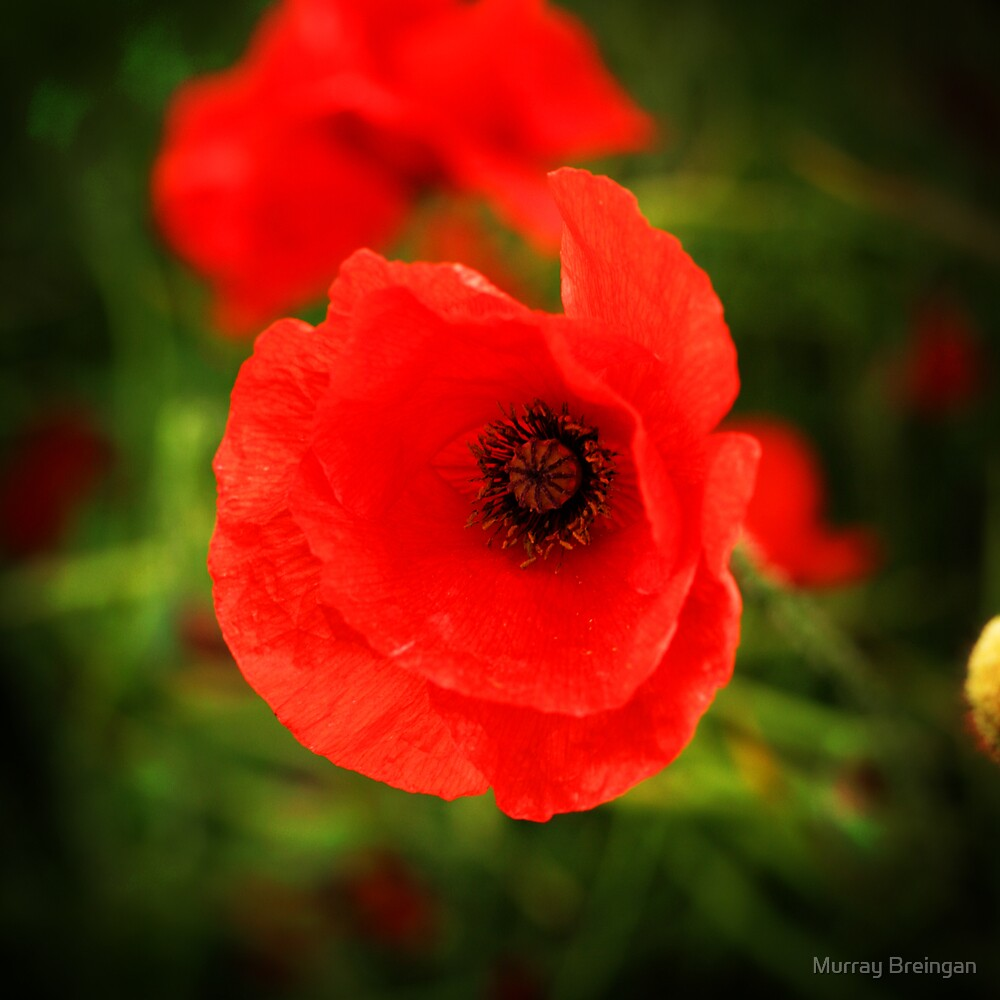 Poppy by Murray Breingan