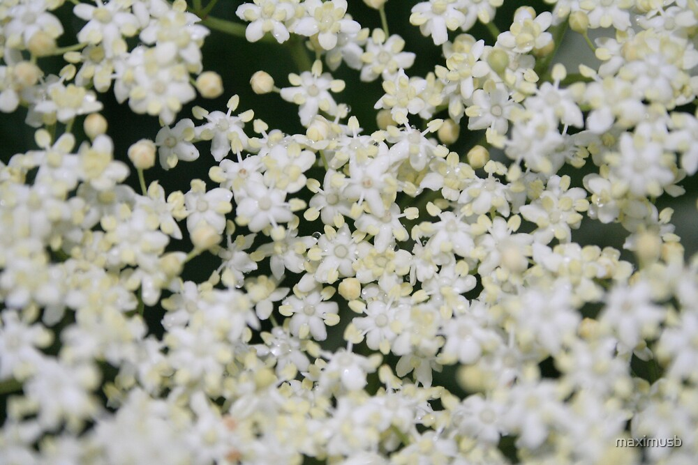 elder flower by maximusb