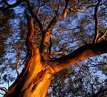 Gum Tree by Roy Hudson