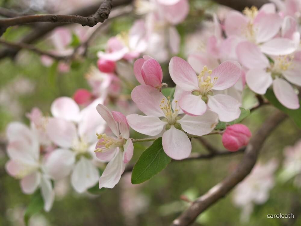 Crabapple tree blossom, spring 2007 by carolcath
