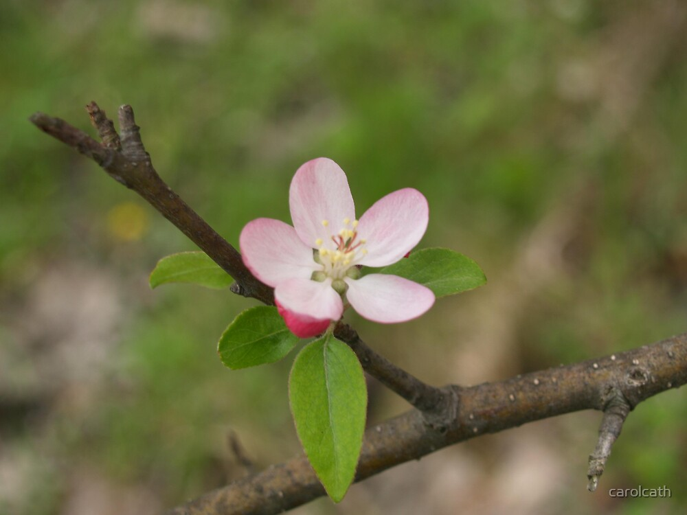 Crabapple Blossom by carolcath