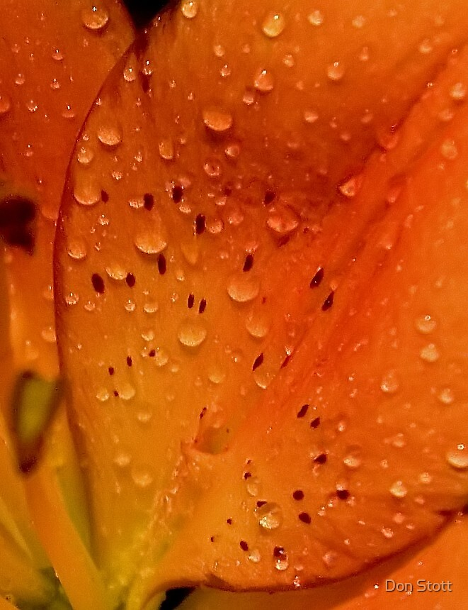 Orange Petals by Don Stott