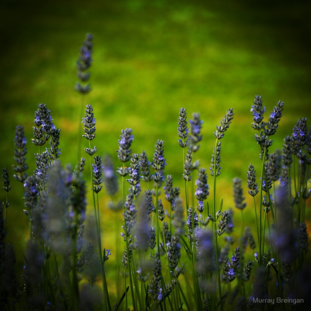 Lavendar by Murray Breingan