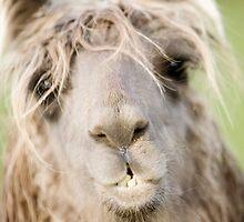 Llama2 by Neil