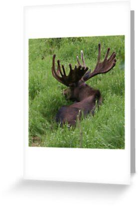 Bull Moose by Robert Phelps