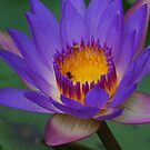 Purple Lily by Paul Elward