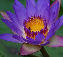 Purple Lily by Paul Elward