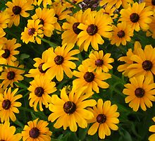 patch of black eyed susans by wanda blake