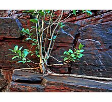 Fig Detail, Joffre Gorge, Karijini NP Photographic Print