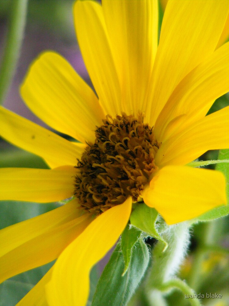 sunflower by wanda blake