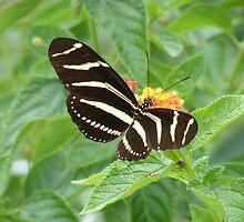 zebra fly by wanda blake