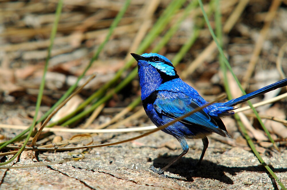Blue Wren by Paul Elward