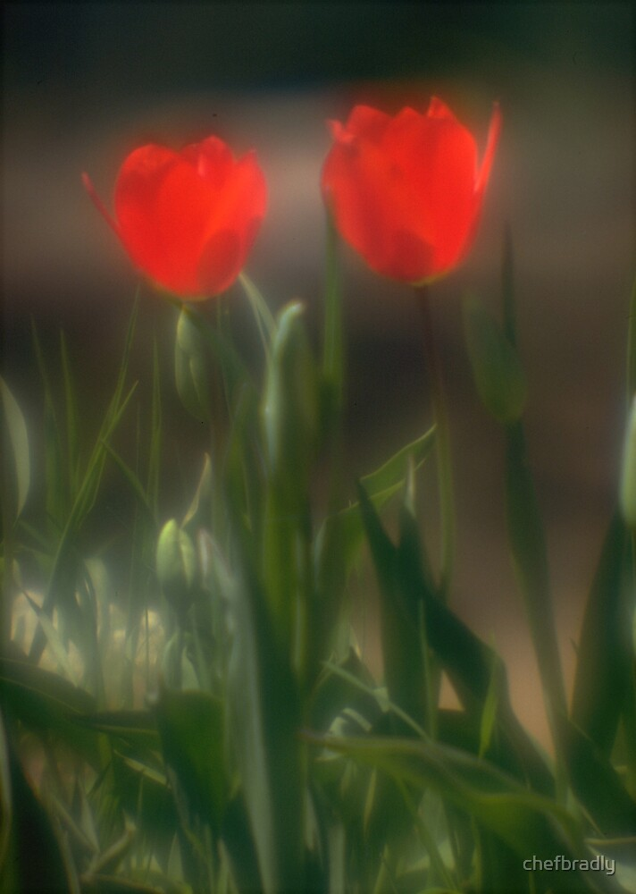 Red Tulips by chefbradly