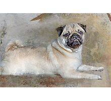 Pug Pose Photographic Print