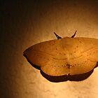beautiful moth, Queensland, Australia by Susanne Schmitz