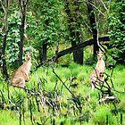 kangaroos, NSW, Australia by Susanne Schmitz