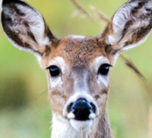 Portrait of a Whitetail Deer Sticker