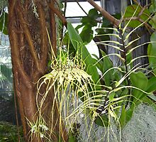 Spider Orchid by spicylips