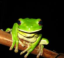 whitelip tree frog front - northern Queensland, Australia by Susanne Schmitz